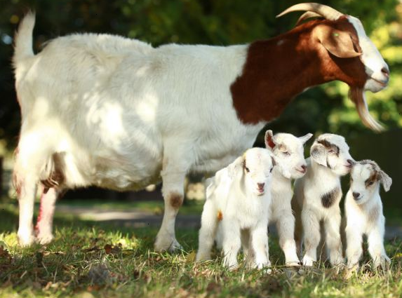 image of goat with kids