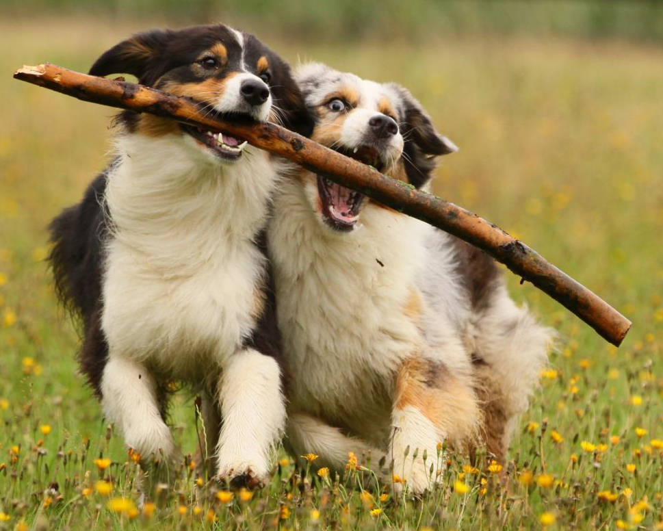 dog giving another dog a stick
